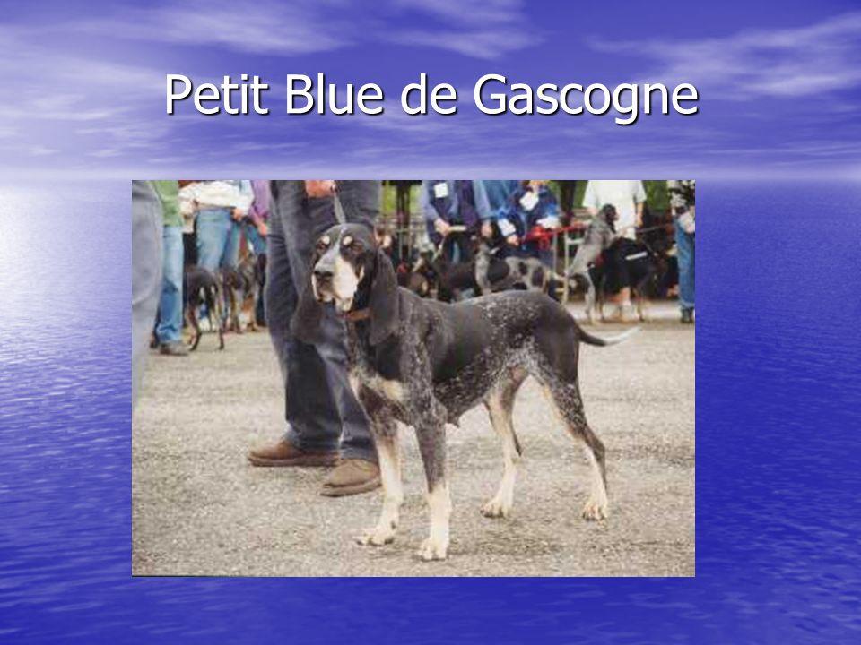 Petit Blue de Gascogne