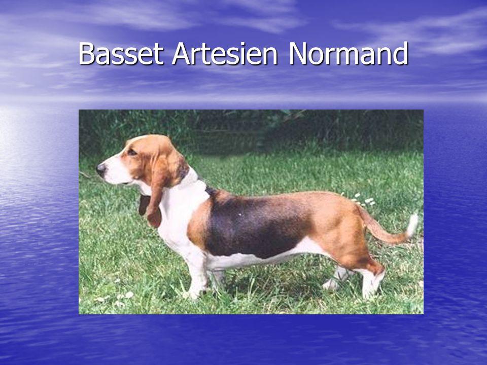 Basset Artesien Normand