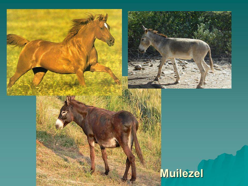 Muilezel