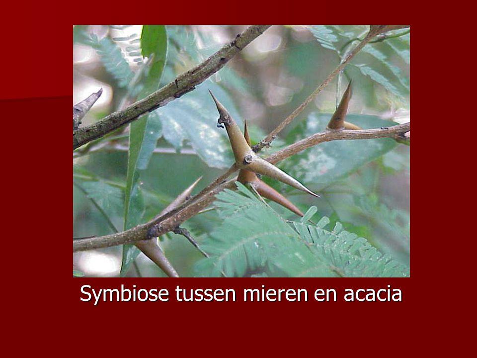 Symbiose tussen mieren en acacia Symbiose tussen mieren en acacia