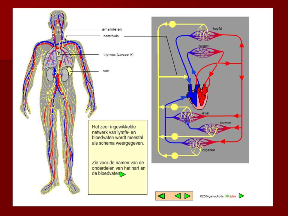 Stappen bij bacteriële ziekte 1.Besmetting 2. Incubatietijd 3.