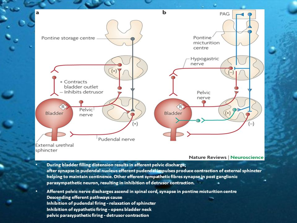During bladder filling distension results in afferent pelvic discharge; after synapse in pudendal nucleus efferent pudendal impulses produce contraction of external sphincter helping to maintain continence.