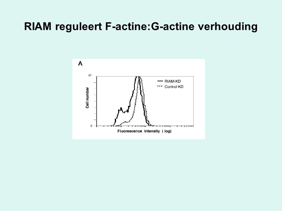RIAM reguleert F-actine:G-actine verhouding