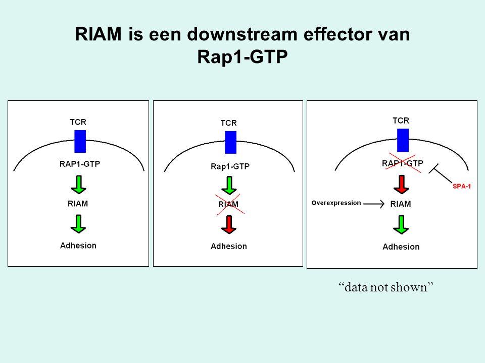 """RIAM is een downstream effector van Rap1-GTP """"data not shown"""""""