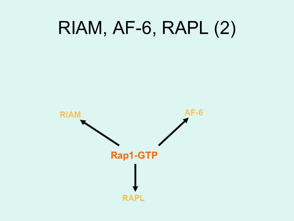 AF-6 Rap1-GTP RIAM RAPL RIAM, AF-6, RAPL (2)
