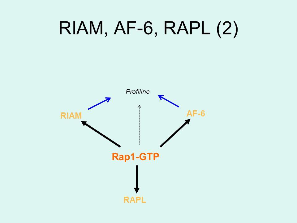 Profiline AF-6 Rap1-GTP RIAM RAPL
