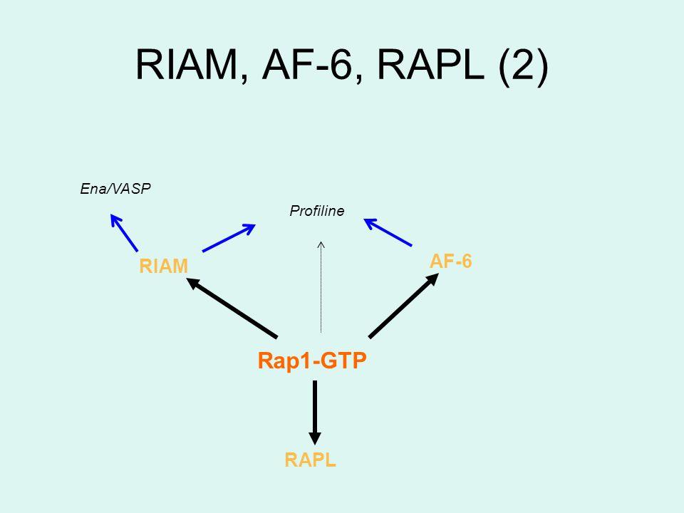 RIAM, AF-6, RAPL (2) Profiline AF-6 Rap1-GTP RIAM RAPL Ena/VASP