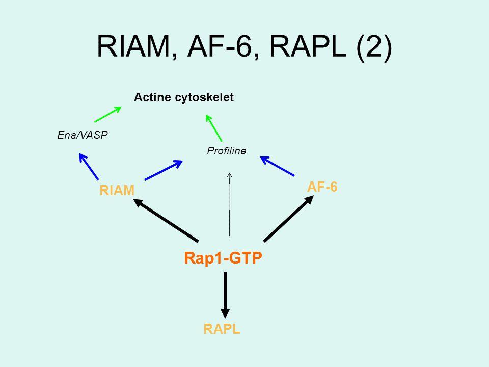 RIAM, AF-6, RAPL (2) AF-6 Rap1-GTP RIAM RAPL Ena/VASP Profiline Actine cytoskelet