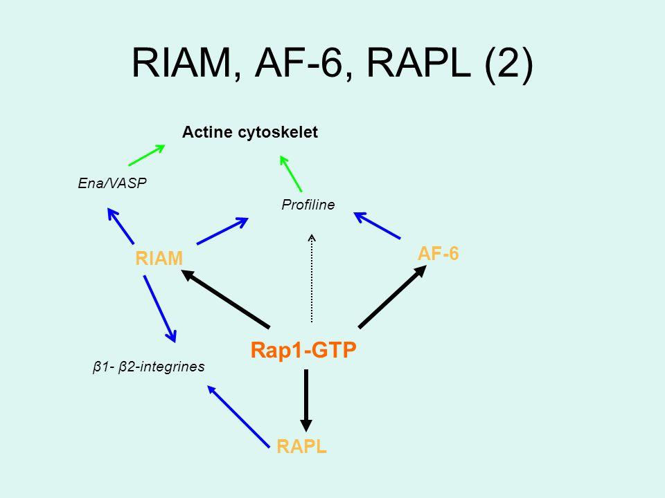 RIAM, AF-6, RAPL (2) AF-6 Rap1-GTP RIAM RAPL Ena/VASP Profiline Actine cytoskelet β1- β2-integrines