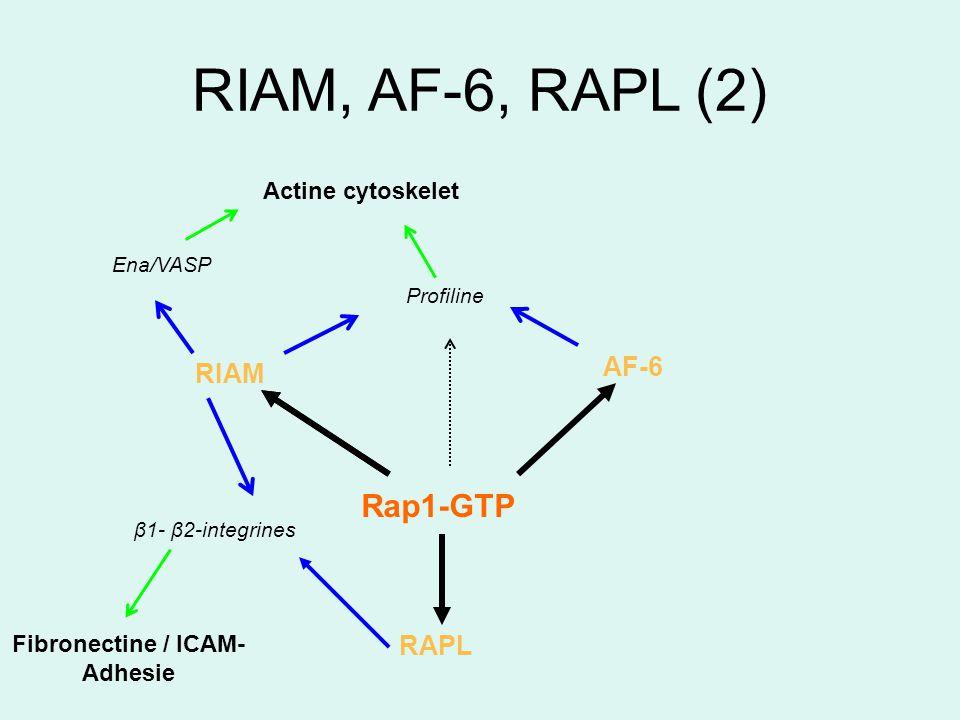 RIAM, AF-6, RAPL (2) Ena/VASP Profiline Actine cytoskelet AF-6 Rap1-GTP RIAM RAPL Fibronectine / ICAM- Adhesie β1- β2-integrines
