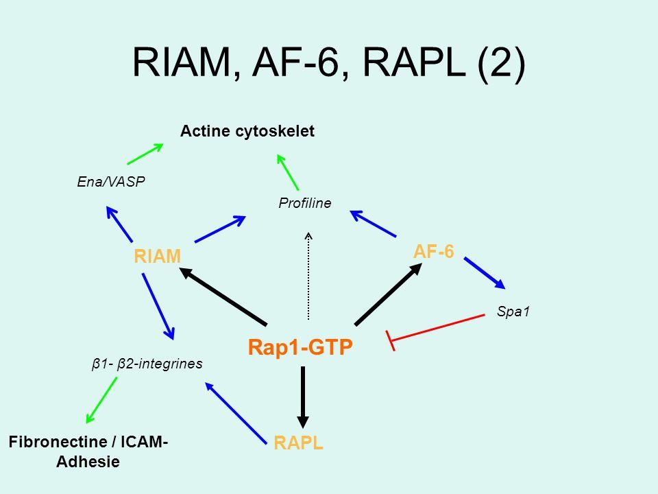 RIAM, AF-6, RAPL (2) Ena/VASP Profiline Actine cytoskelet AF-6 Rap1-GTP RIAM RAPL Fibronectine / ICAM- Adhesie Spa1 β1- β2-integrines
