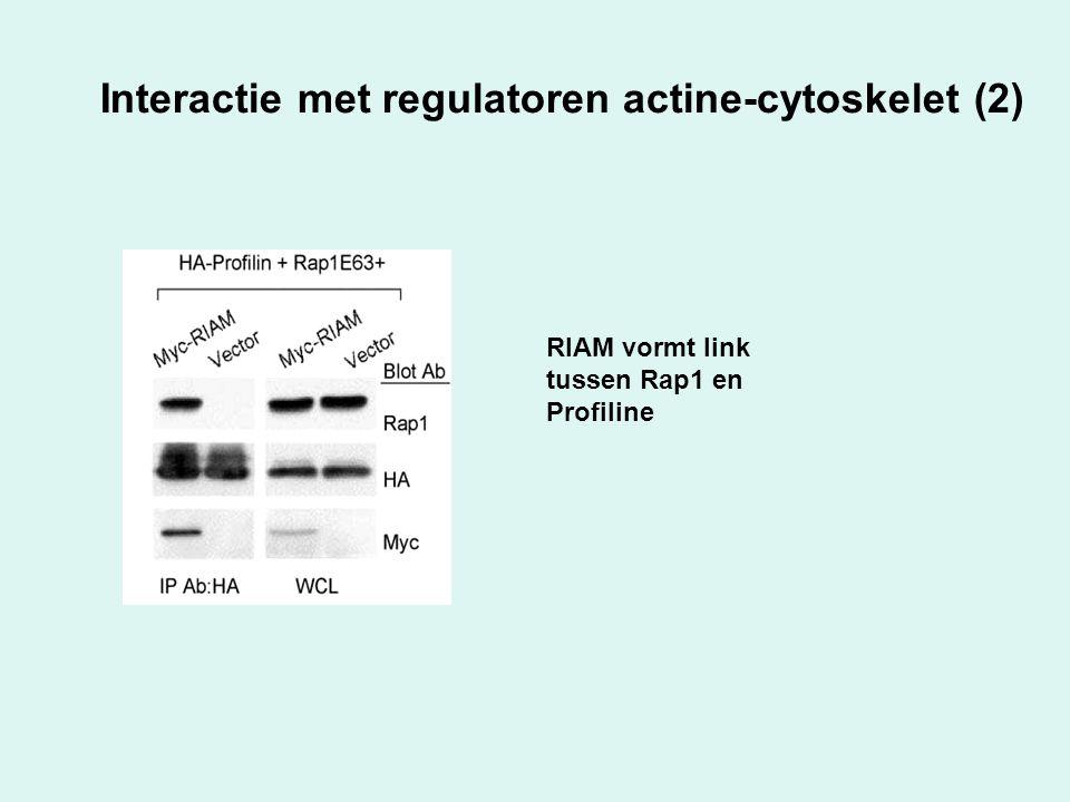 Interactie met regulatoren actine-cytoskelet (2) RIAM vormt link tussen Rap1 en Profiline