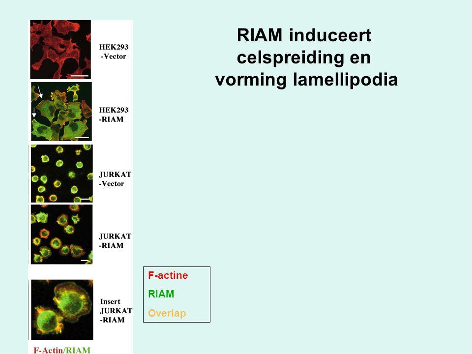 RIAM induceert celspreiding en vorming lamellipodia F-actine RIAM Overlap