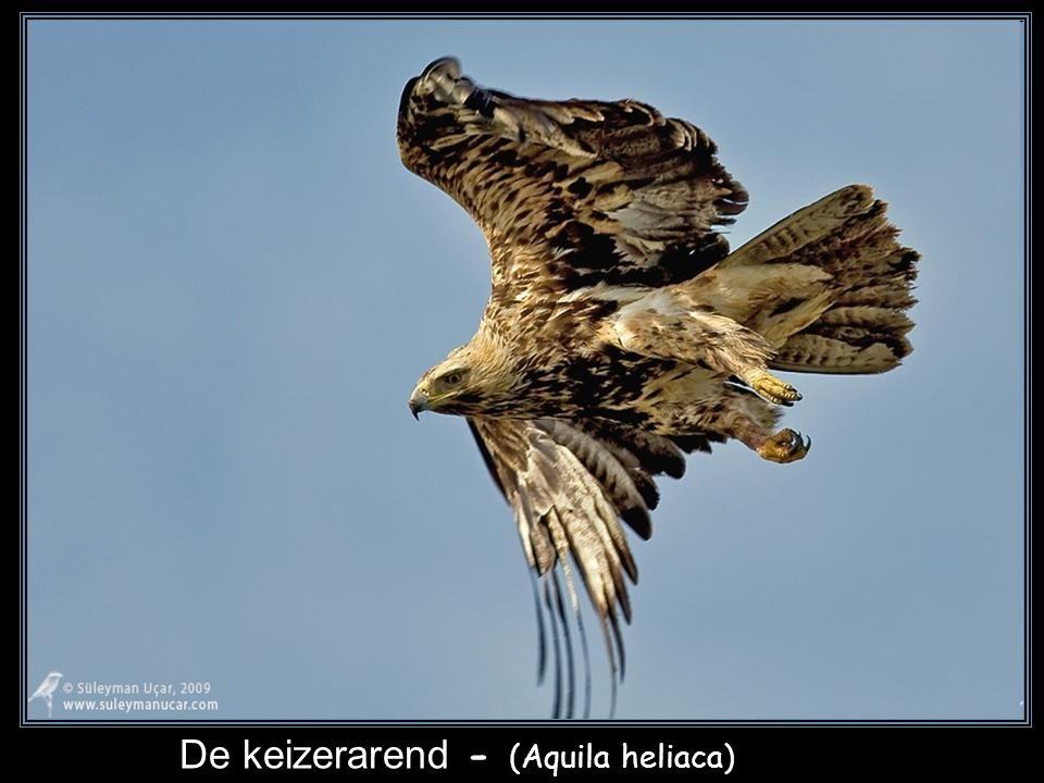 De steenarend - (Aquila chrysaetos)