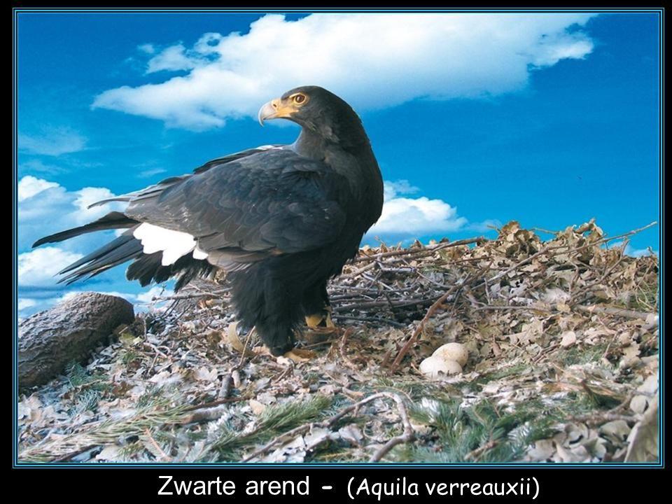 De keizerarend - (Aquila heliaca)