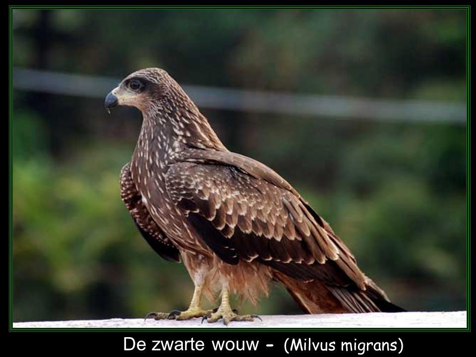 De rode wouw - (Milvus milvus)