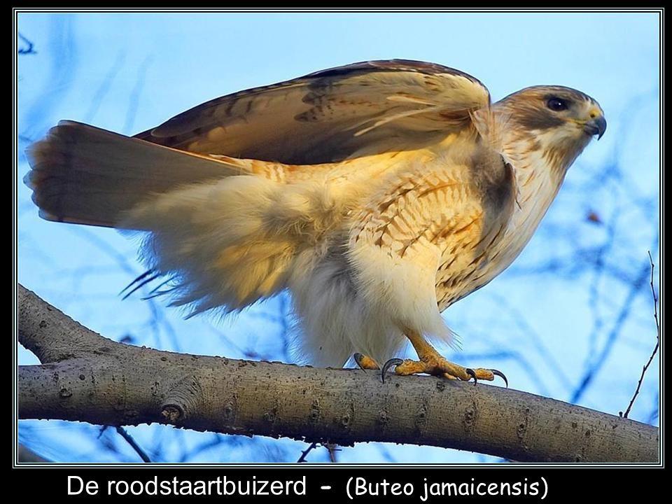 Roodschouderbuizerd - (Buteo lineatus)