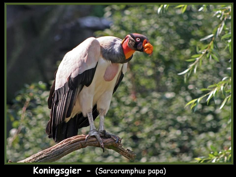 Koningsgier - (Sarcoramphus papa)