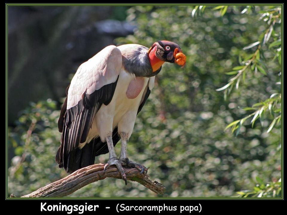 Zuidelijke caracara / Falklandcaracara - (Phalcoboenus australis)
