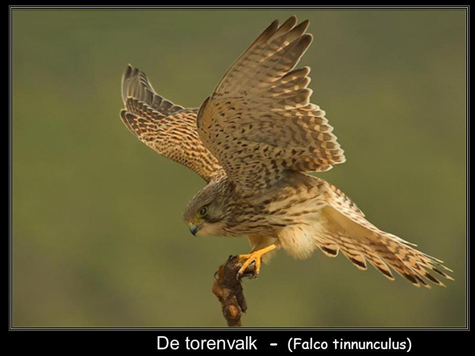 De havik - (Accipiter gentilis)