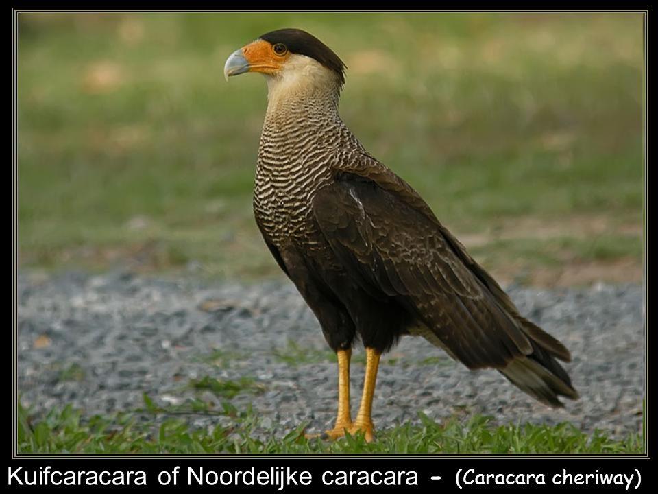 Sakervalk - (Falco cherrug syn.: Genaia saker)