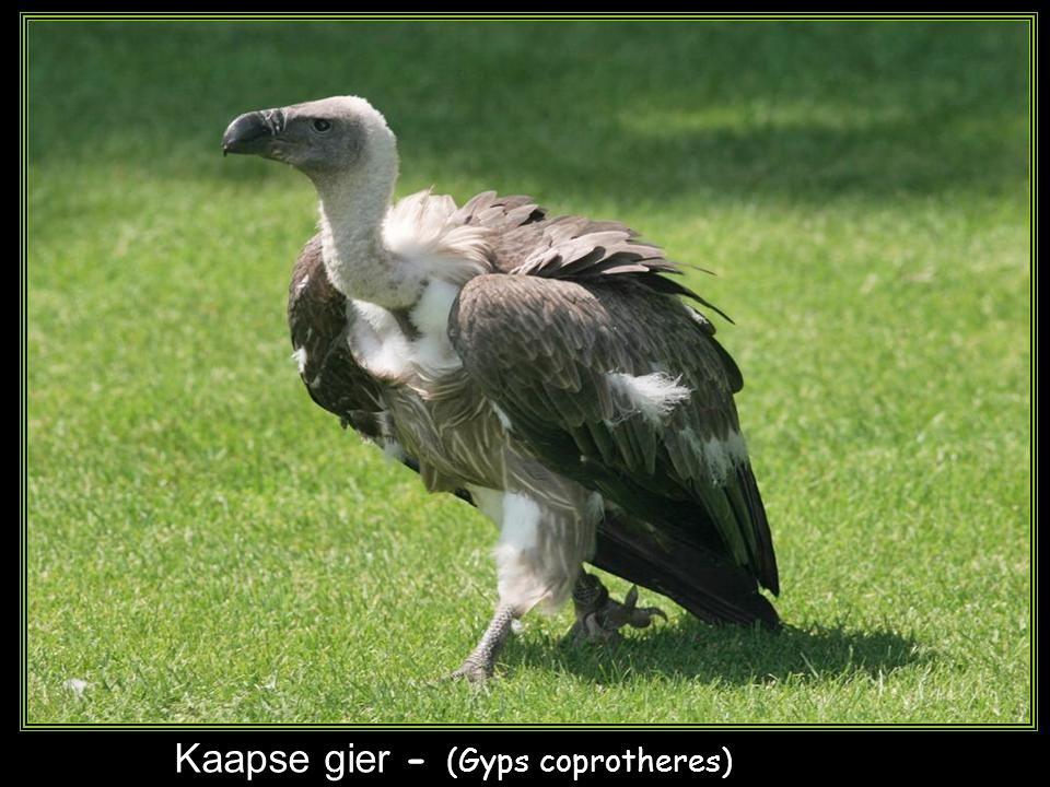 De visarend – ( Pandion haliaetus )