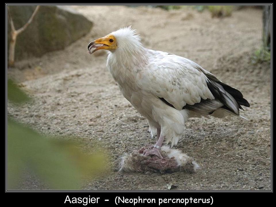 Aasgier - (Neophron percnopterus)