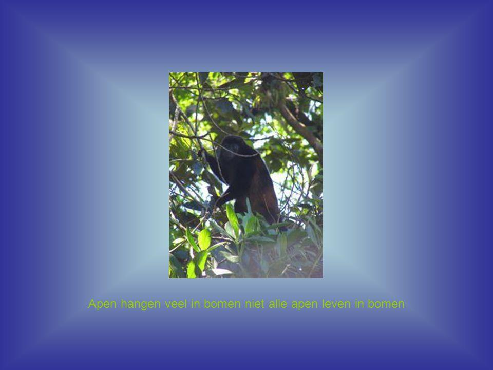 Apen hangen veel in bomen niet alle apen leven in bomen