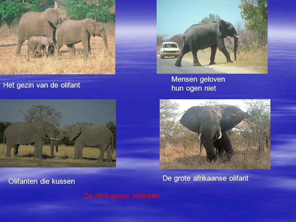 Het gezin van de olifant Mensen geloven hun ogen niet Olifanten die kussen De grote afrikaanse olifant De Afrikaanse olifanten
