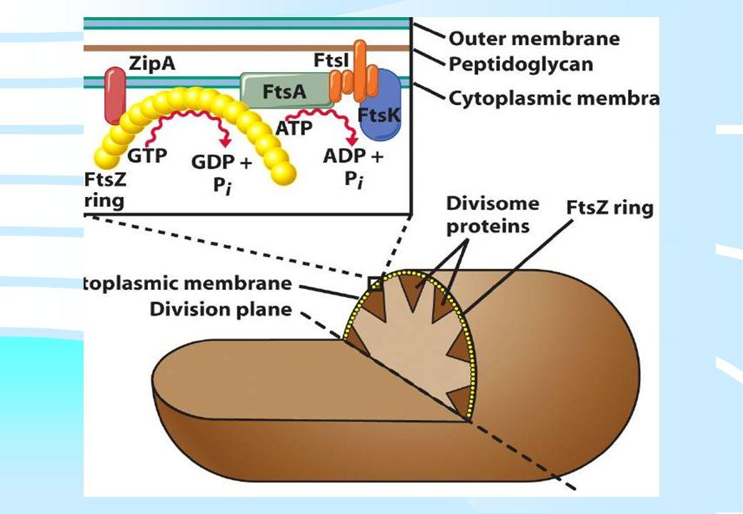 De microbiële cel, november 2008: colleges Westerhoff