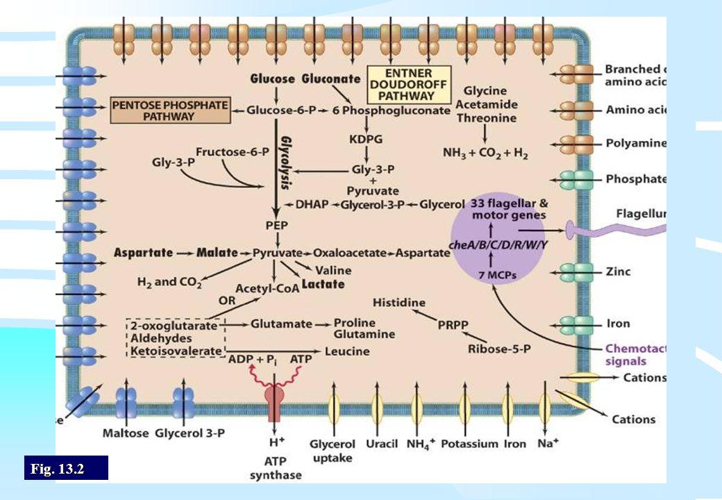 De microbiële cel, november 2008: colleges Westerhoff Fig. 13.2
