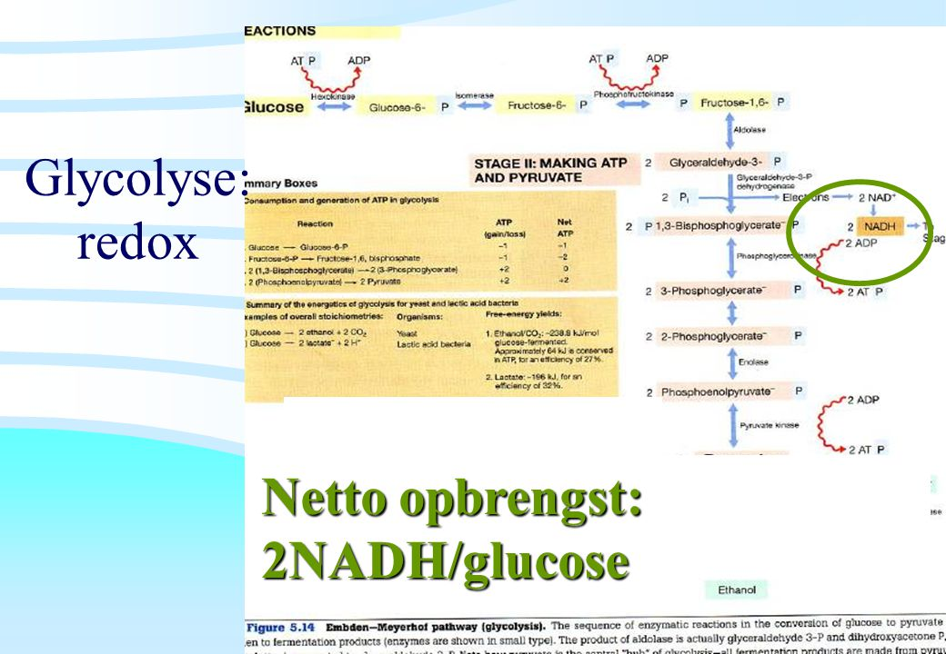 De microbiële cel, november 2008: colleges Westerhoff Glycolyse: redox Netto opbrengst: 2NADH/glucose
