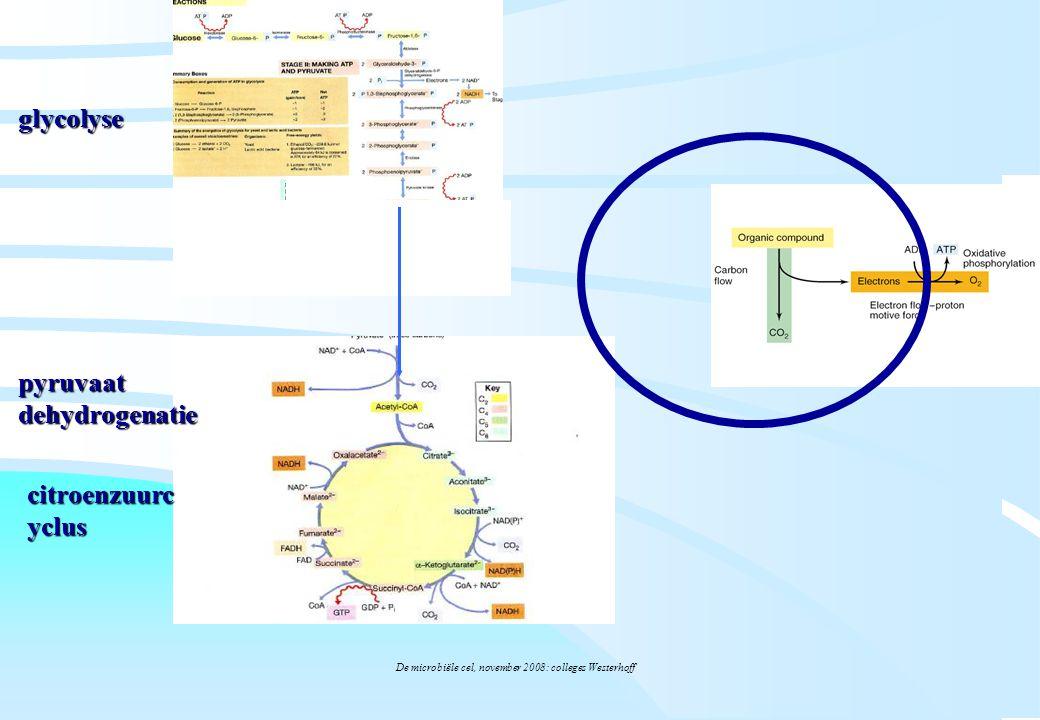 De microbiële cel, november 2008: colleges Westerhoff glycolyse citroenzuurc yclus pyruvaat dehydrogenatie