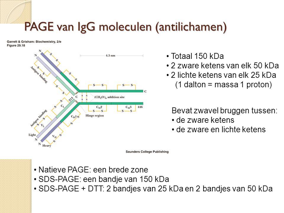 PAGE van IgG moleculen (antilichamen) Totaal 150 kDa 2 zware ketens van elk 50 kDa 2 lichte ketens van elk 25 kDa (1 dalton = massa 1 proton) Bevat zw
