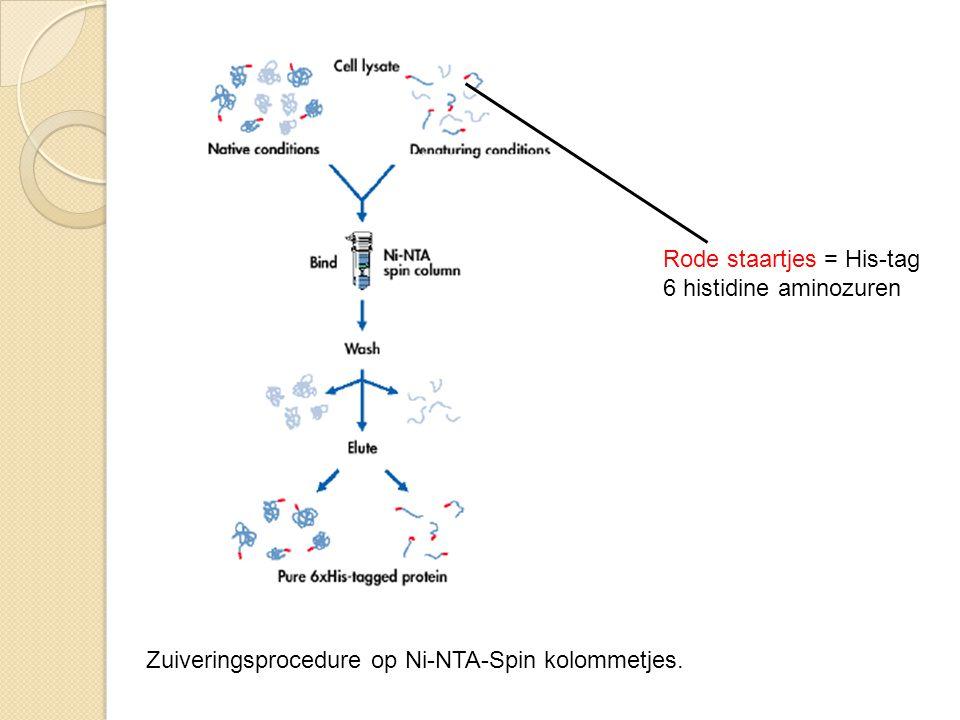 Zuiveringsprocedure op Ni-NTA-Spin kolommetjes. Rode staartjes = His-tag 6 histidine aminozuren