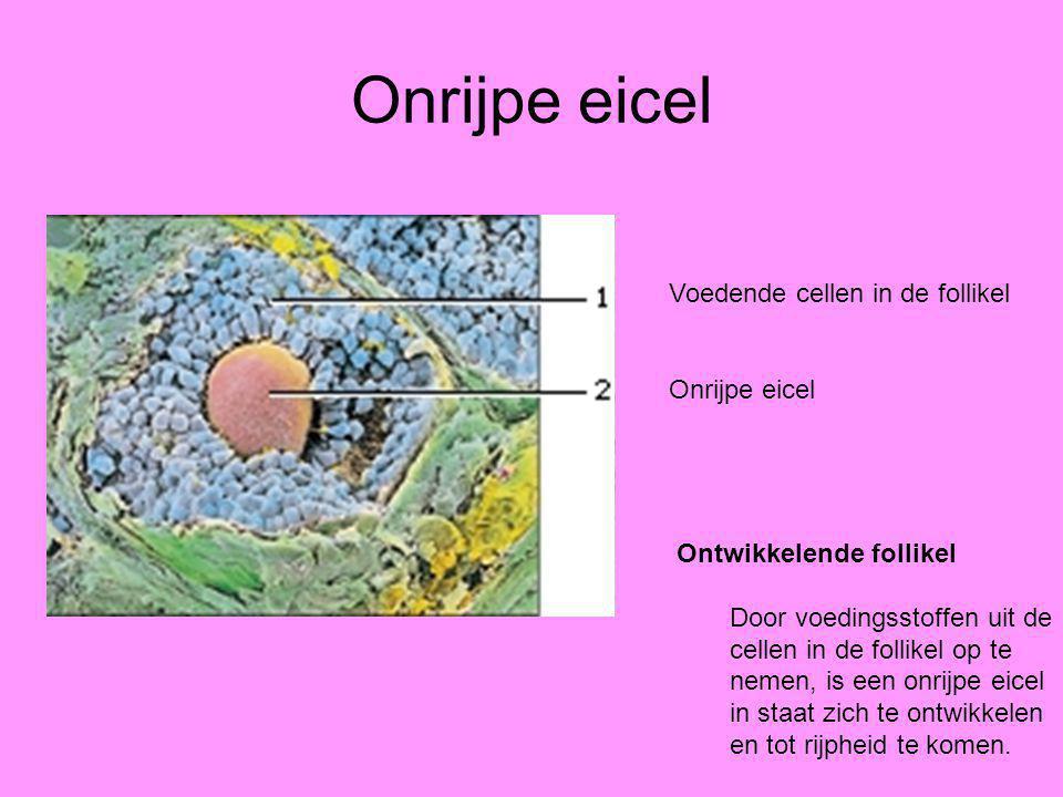 Onrijpe eicel Ontwikkelende follikel Door voedingsstoffen uit de cellen in de follikel op te nemen, is een onrijpe eicel in staat zich te ontwikkelen