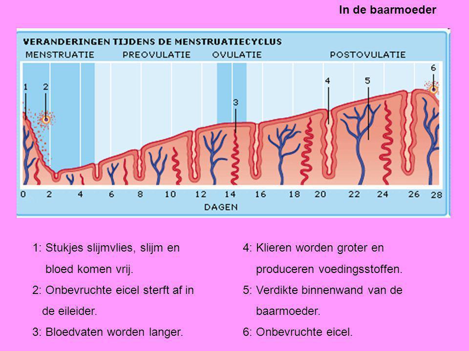 1: Stukjes slijmvlies, slijm en bloed komen vrij. 2: Onbevruchte eicel sterft af in de eileider. 3: Bloedvaten worden langer. 4: Klieren worden groter