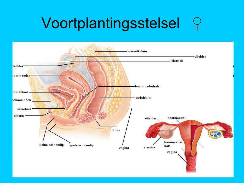 Voortplantingsstelsel ♀