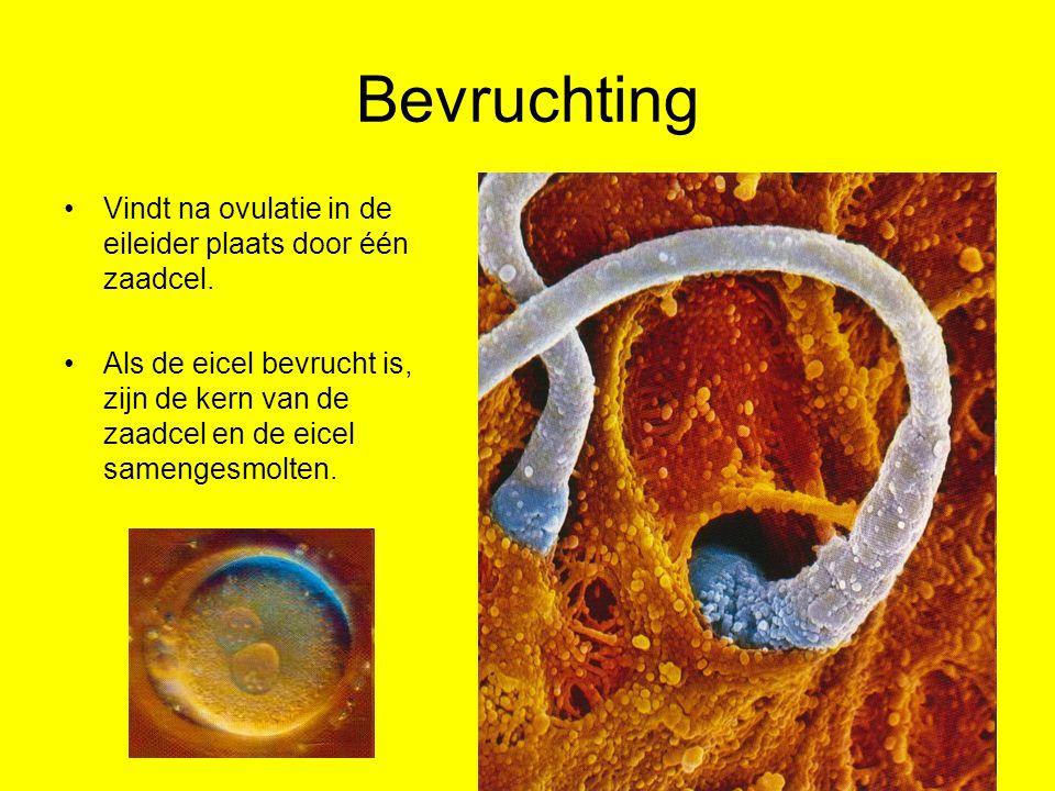 Eeneiige tweeling Tijdens de celdelingen splitsen de cellen zich in twee klompjes cellen: beiden groeien uit tot een embyro.