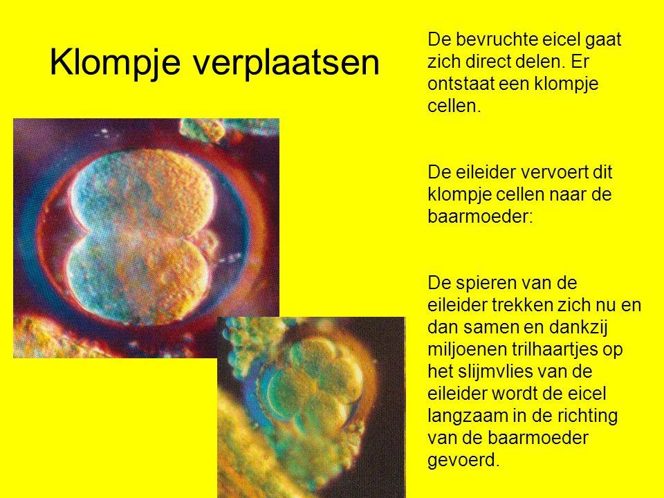 Klompje verplaatsen De bevruchte eicel gaat zich direct delen.