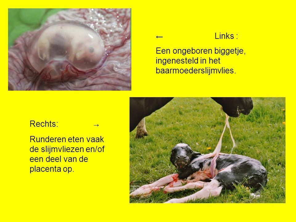 ← Links : Een ongeboren biggetje, ingenesteld in het baarmoederslijmvlies.
