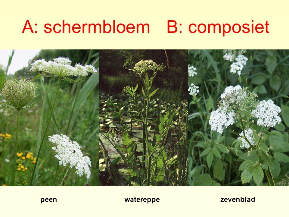 A: schermbloem B: composiet peenwatereppezevenblad