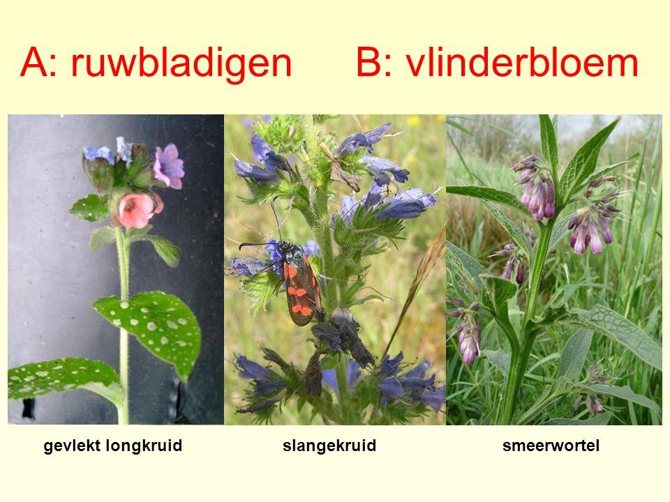 A: ruwbladigenB: vlinderbloem gevlekt longkruidslangekruidsmeerwortel