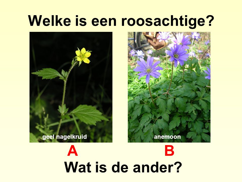 Welke is een roosachtige? Wat is de ander? ABAB geel nagelkruidanemoon