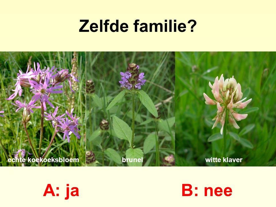 A: lipbloem B: vlinderbloem bosandoornpaarse dovenetelbrunel