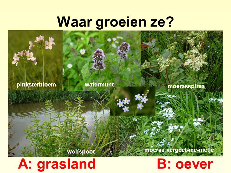 Waar groeien ze? A: graslandB: oever pinksterbloemwatermunt moerasspirea moeras vergeet-me-nietje wolfspoot