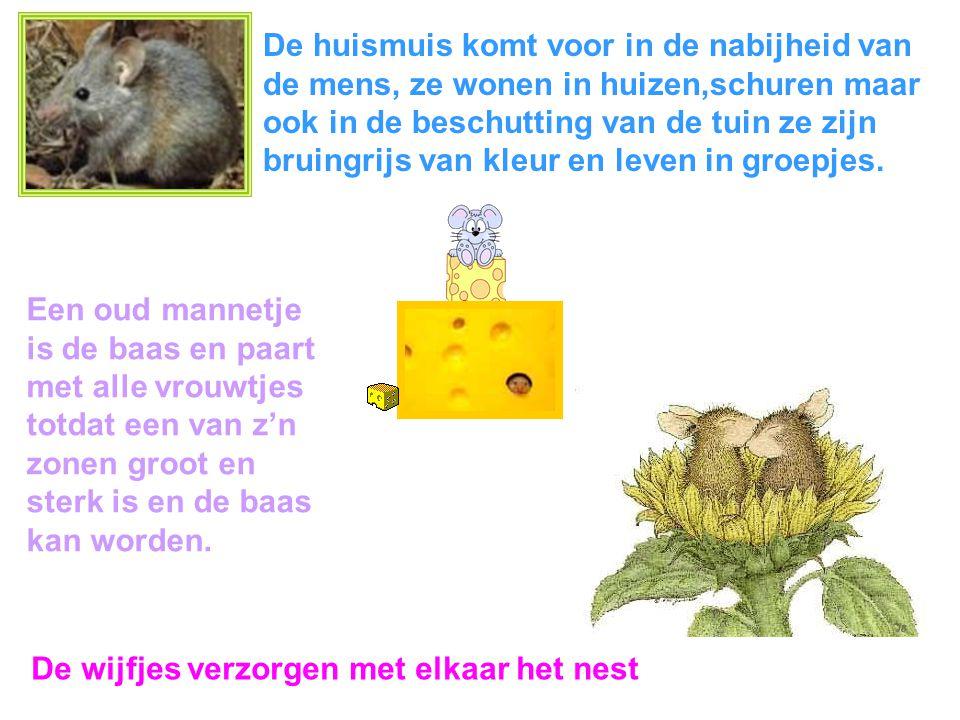 De huismuis komt voor in de nabijheid van de mens, ze wonen in huizen,schuren maar ook in de beschutting van de tuin ze zijn bruingrijs van kleur en leven in groepjes.