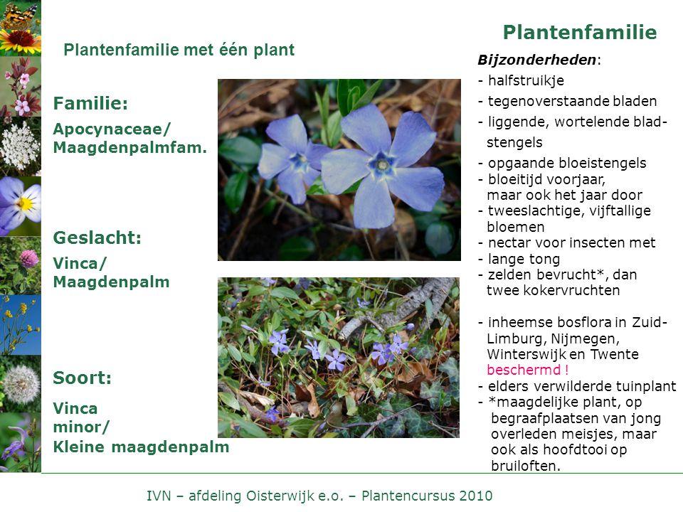 IVN – afdeling Oisterwijk e.o. – Plantencursus 2010 Plantenfamilie Plantenfamilie met één plant Apocynaceae/ Maagdenpalmfam. Familie: Geslacht: Vinca/