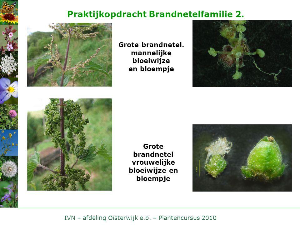 IVN – afdeling Oisterwijk e.o. – Plantencursus 2010 Praktijkopdracht Brandnetelfamilie 2. Grote brandnetel. mannelijke bloeiwijze en bloempje Grote br