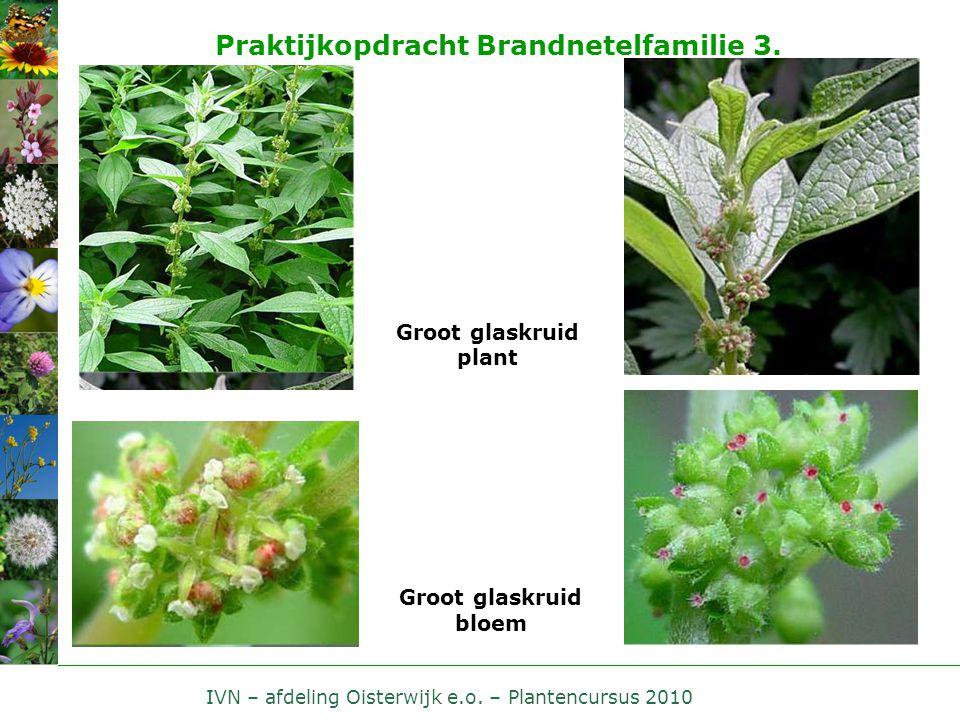 IVN – afdeling Oisterwijk e.o. – Plantencursus 2010 Praktijkopdracht Brandnetelfamilie 3. Groot glaskruid plant Groot glaskruid bloem
